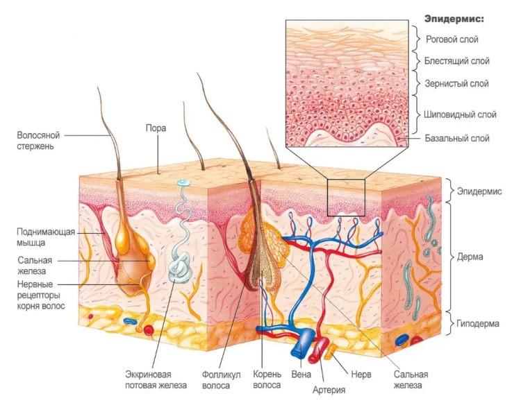 Эпидермис кожи человека