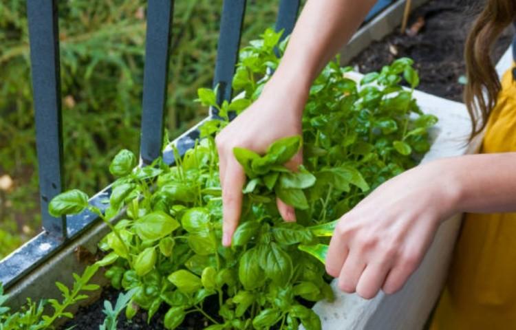 Базилик обыкновенный: полезные свойства, применение, выращивание